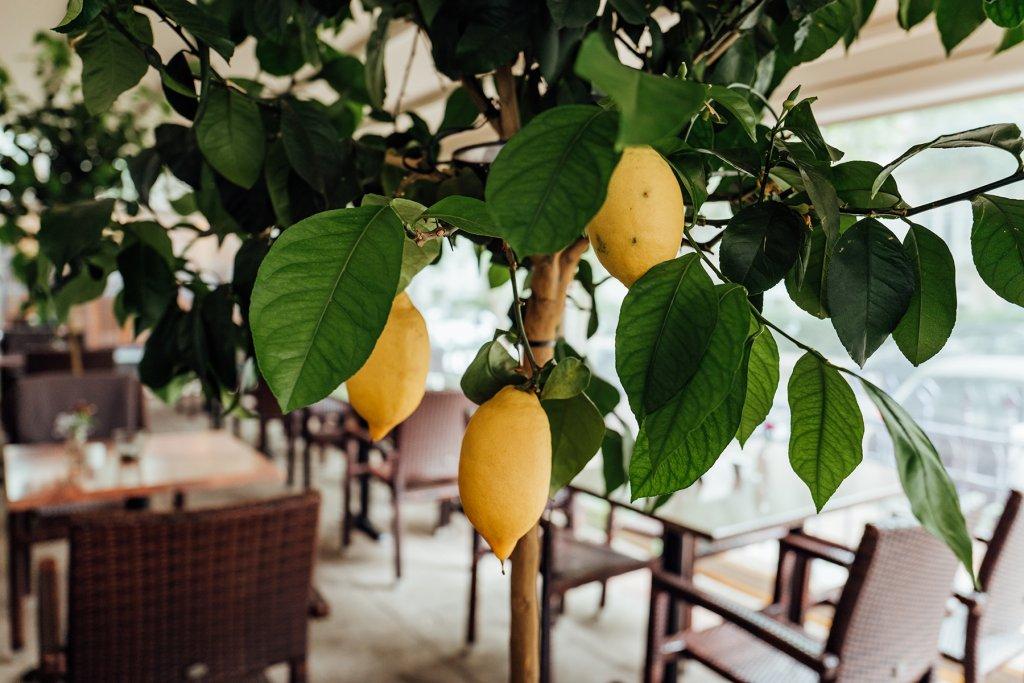 Zitronenbaum mitten im Restaurant Parea.