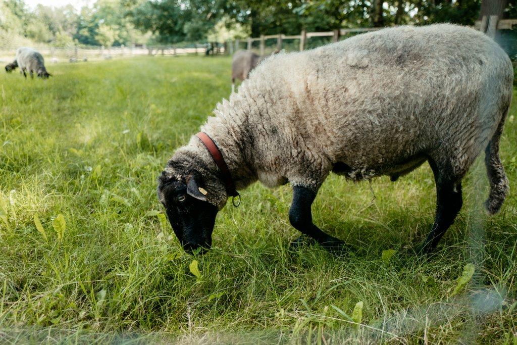 Sogar eine ganze Schafweide wartet auf euch.