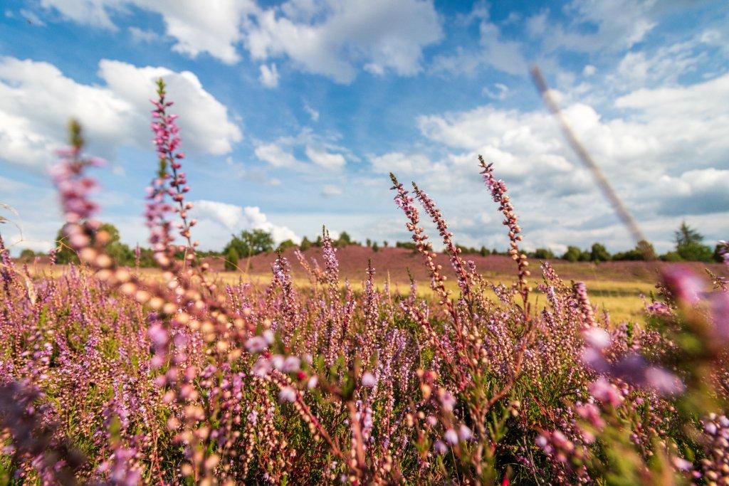 Die Lüneburger Heide blühlt violett